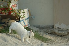 ...Gatta benestante... (virgiliomulas.) Tags: qatar gatta lusso alwakrah starbene virgiliocompany