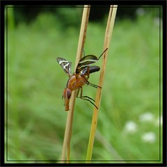 Picture-winged Fly......Ready for take-off..! (Daisy Mai-ling) Tags: insectsandspiders damniwishidtakenthat fantasticinsect lincolncountymo mdc75
