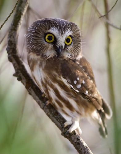 Northern Saw-Whet Owl von Rick Leche