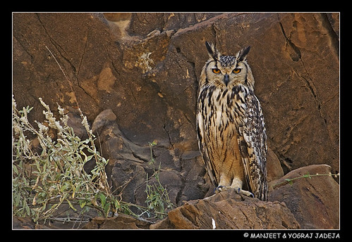 Captivating Kutch 3 - Eurasian Eagle Owl
