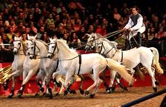 Lorenzo with all 6 Lusitano's (Sally Bowe) Tags: explore lorenzo olympia lusitano galope horseoftheyear impressedbeauty