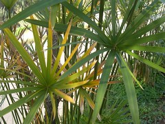 yellowing leaves of papyrus plant fournes
