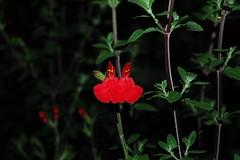 Salvia (louisa_catlover) Tags: flowers red plant nature garden dusk australia bluemountains salvia nsw lamiaceae mountwilson