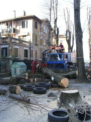 albero sano in via duodo