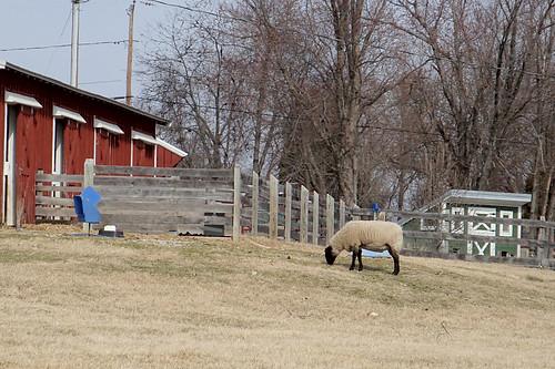 Kinder Farm Sheep