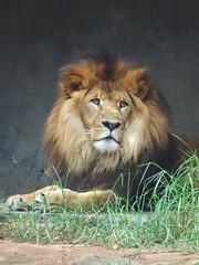 * Lion *