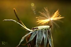 Ant (renee.hawk) Tags: sunset macro sonnenuntergang ant lensflare makro ameise lwenzahn blowball kartpostal dadelion natureplus spiritofphotography blendenflecken