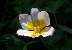 See the light! (lilli2de) Tags: flowers plants nature sunshine natur pflanzen may blumen mai tulip tulpe sonnenschein finsterwalde 2011 mymothersgarden niederlausitz elbeelster landbrandenburg meinermuttersgarten