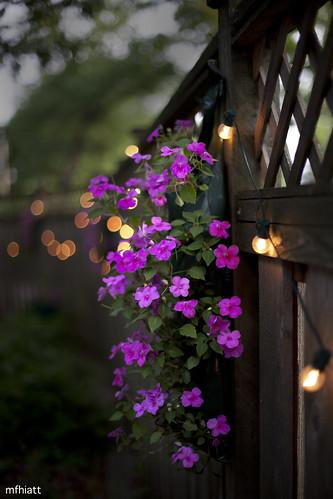 flower fence garden backyard bokeh 200views impatiens hff views200 fencefriday 2011yip 3652011 2011inphotos mfhiatt michaelfhiatt