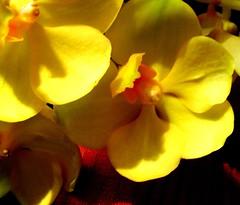 orchid_feb23 (sasithorn_s) Tags: orchid nature garden fpc fineartphotos golddragon mywinners abigfave superbmasterpiece diamondclassphotographer flickrdiamond theunforgettablepictures goldstaraward