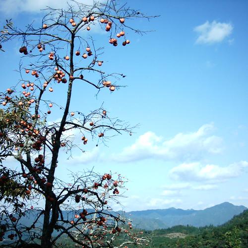 【写真】Persimmon tree [ Mt. Yoshino ]