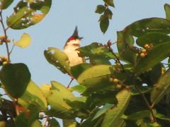 Red Wiskered Bulbul (girianne) Tags: india bird mumbai bulbul