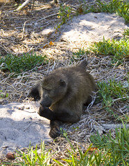 mmm, tasty (LP365) Tags: africa southafrica hiking capetown cape baboon capepoint fynbos glencairn baboonmatters