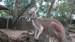 A Kangaroo at Taronga Zoo