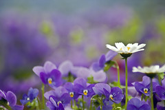 ~ 1st Flickr Anniversary ~ (Lee_Bryan) Tags: flower macro nature japan canon bokeh di daisy fukuoka tamron botanicalgarden  70300 f456  400d theperfectphotographer