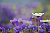 ~ 1st Flickr Anniversary ~ (Lee_Bryan) Tags: flower macro nature japan canon bokeh di daisy fukuoka tamron botanicalgarden 福岡 70300 f456 福岡市動植物園 400d theperfectphotographer