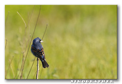 Blue Grosbeak & Selective Sharpening Guide