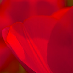 Shades of red (manganite) Tags: flowers red plants macro nature colors closeup digital germany square geotagged spring nikon colorful europe bonn dof seasons tulips bokeh tl blossoms onecolor d200 nikkor dslr rhine rheinaue northrhinewestphalia 500x500 thecolorred 18200mmf3556 utatafeature manganite nikonstunninggallery abigfave repost1 date:year=2008 geo:lat=50709229 geo:lon=7142538 date:month=april date:day=27 format:orientation=square format:ratio=11 repost2