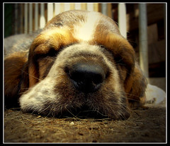 sweet dream... (betbele) Tags: dog cane sweet dream basset platinumphoto anawesomeshot bluribbonwinner ysplix damniwishidtakenthat