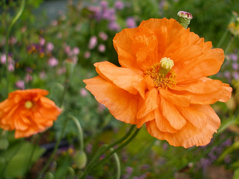 double spanish poppy