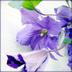 The More Purple, The Merrier! (littlefeather100 / Off) Tags: flowers copyright flower macro green square washington purple clematis myneighborhood sedrowoolley gallerydancingpeacock overtheshot