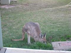 Kangaroo at Alice Springs van park