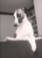 Counting every second until I see you again (Dada Mar) Tags: portrait dog white love beautiful angel waiting soft sweet d whippet dada brindle melancholy melancholic thelittledoglaughed gazehound