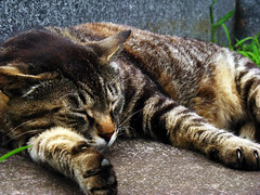 brown cat (Molly Des Jardin) Tags: sleeping cats brown black cemetery graveyard japan wall cat fur concrete tokyo sleep gray paws 2008 straycat yanaka