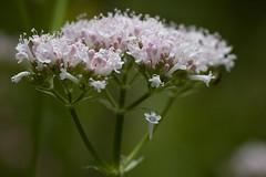 Valeriana officinalis (Valerianaceae)