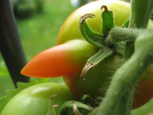 tomate, mutiert