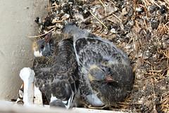messy nest (joysaphine) Tags: roof red chimney seagulls white feet rooftop birds wales grey babies legs nest pigeon watching joy feathers fluffy down windowsill pembrokeshire tenby grown webbed beaks flown fledgelings june08 bbcwalesnature