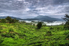 Sabah Tea Garden (Jeremy-G) Tags: morning blue trees sky mist mountain green lines canon garden tea wide perspective tokina plantation mountkinabalu 1224mm landsacape sabah hdr exposures fogs 5x photomatix tonemapped 400d infinestyle