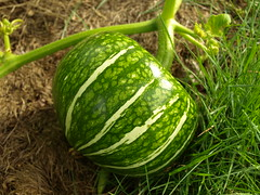 Heirloom Squash