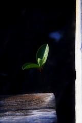 """""""Quando entrar setembro e a boa nova andar nos campos... (Fabiana Velso) Tags: verde planta folha minimalismo frente plantinha broto betoguedes duetos frenteafrente fabianavelso"""