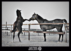 ..    (A.Alwosaibie) Tags: light horse white black lens photo sand nikon iron shot spot saudi arabia 1855mm ksa d60   galope  alhassa