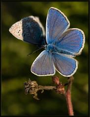 lycne bleu 28 septembre 2008-8135 (Tempete2pixel) Tags: macro butterfly bleu papillon macros av marvels lpidoptre lepidoptere argusbleu macrophotographies papillondiurne lycnids lycne lycene lycenides