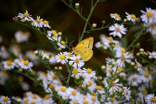 Orange Sulphur on black