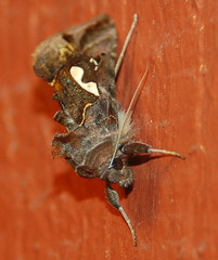 8907 Bilobed Looper moth (David A's Photos) Tags: county oregon yard portland or moth september moths noctuidae co multnomah looper bmna 8907 megalographabiloba bilobed