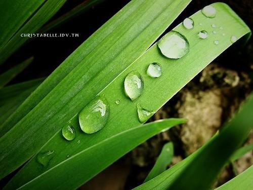 pearl dews