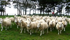 Here come the girls (bryanilona) Tags: scotland sheep fife flock roundup blueribbonwinner eastneuk platinumphoto anawesomeshot ultimateshot betterthangood