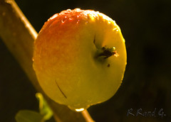 Golden Dorsett Apple