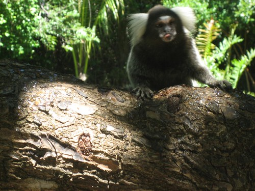 Monkey in the Ecological Sanctuary, Pipa, Brazil