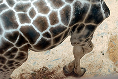 giraffelegs.jpg