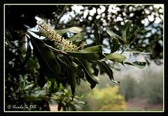Macadamia tree in flower (Ursula in Aus) Tags: flower tree green thailand macadamia loei เลย earthasia