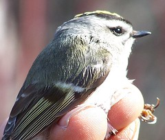 A Touch of Green (makeupanid) Tags: banding birdbanding goldencrownedkinglet kinglet greenwithenvy featheryfriday gcki youknowbaileyscominguptomorrowright hesgoodforsomething