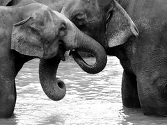 True Love (noelboss) Tags: travel two bw white elephant black love orphanage journey elephants srilanka pinnawala noelboss
