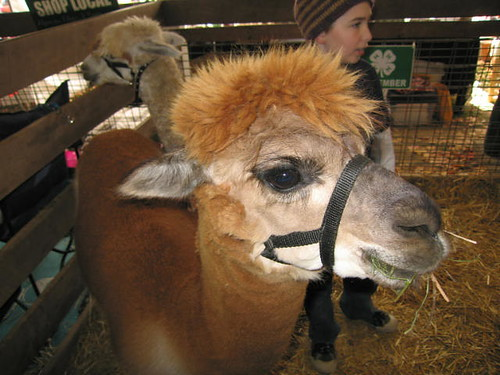 adorable alpaca