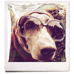 (saikiishiki) Tags: portrait dog chien love beautiful up sunglasses thanks square grey eyes backyard gorgeous ghost gray hound hond perro hund weimaraner expressive dressed sophisticated sarong intelligent  perra inu omoshiroi weim mukha fakepolaroid vorstehhund 20f oldschooldigital texturebynatdiastok waimarana