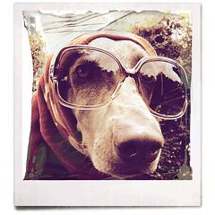 (saikiishiki) Tags: portrait dog chien love beautiful up sunglasses thanks square grey eyes backyard gorgeous ghost gray hound hond perro hund weimaraner expressive dressed sophisticated sarong intelligent ♥ perra inu omoshiroi weim mukha fakepolaroid vorstehhund 20f oldschooldigital texturebynatdiastok waimarana