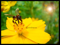 flower5_jpg (Tan Jin Yin) Tags: morning flower yellow bug insect bright yellowflower lensflare daytime